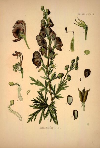 Ko-hler-s_Medizinal-Pflanzen_in_naturgetreuen_Abbildungen_mit_kurz_erla-uterndem_Texte_-Plate_72-_BHL303708